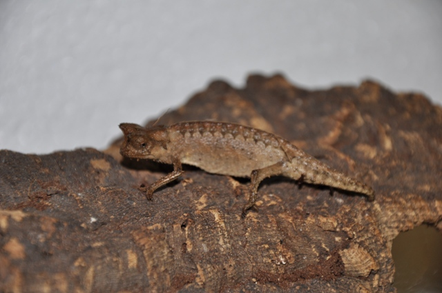 Brookesia stumpffi - Brokesia