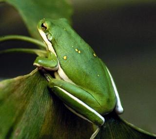 Úvod žáby hyla cinerea rosnička karolínská