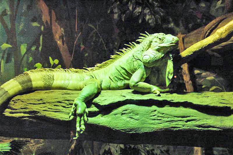 [iguana%20iguana.jpg]